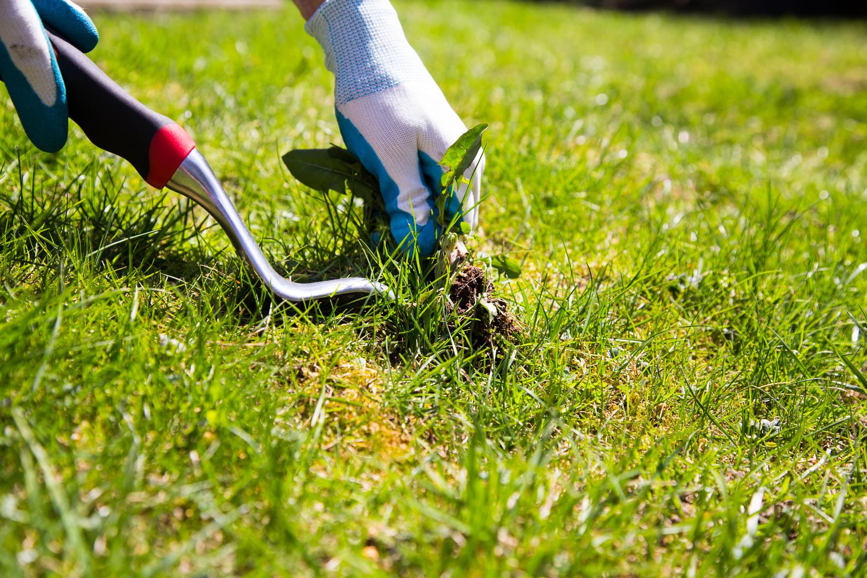 Nos conseils pour mieux g rer les mauvaises herbes gazon du sud magazine du jardin - Comment tuer les mauvaises herbes ...